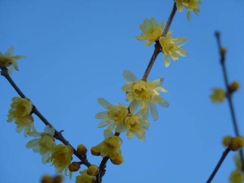 ここのロウバイは花弁が細い花です。
