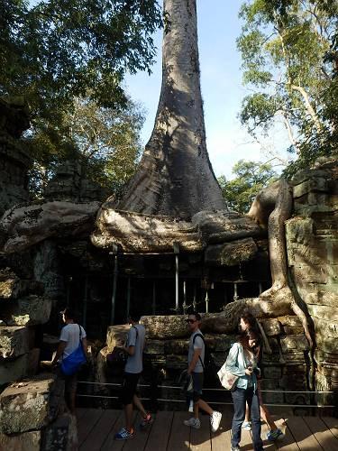 巨木が遺跡を飲み込む「タ・プローム」まるで生きているような木々に圧倒される。迷路のような寺院の中<br />を少し足早で見て回った。初めの方で見てよかった。とにかくいっぱい寺院があるので、最後は飽きてきます・・・・。