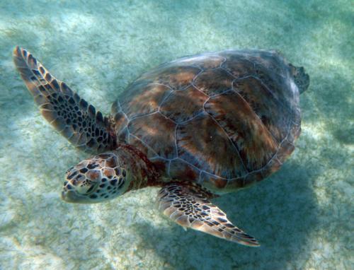 いきなり遭遇の海ガメ。<br /><br />こちらは、グリーン・タートルですね。<br /><br />IUCN(国際自然保護連合)のレッドリストでは、絶滅危惧種に指定されています。因みに、ロガーヘッドといわれる和名アカウミガメも絶滅危惧種指定です。<br /><br />タイマイにいたっては、絶滅寸前という状態です。<br />