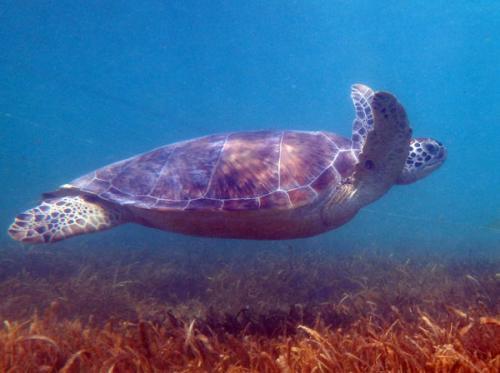 優雅に泳ぐグリーン・タートル<br /><br />一緒になって泳いでいるととても不思議な気持ちになります。<br /><br />そうそう、海ガメって、頭を甲羅の中に隠すことが出来ないって知ってていましたか?!<br /><br /><br /><br />