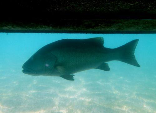 DOG SNAPPERといわれるタイ科の魚です。<br /><br />非常に鋭い犬のような歯を持っていることから名づけられています。写真だと分かりにくいかもしれませんが、体長、1m近くありました。<br /><br />大西洋に生息する魚です。食べるととても美味しい魚ですが、アクマルの周辺海域では、ここ数年で激減している魚でもあります。<br /><br /><br /><br />
