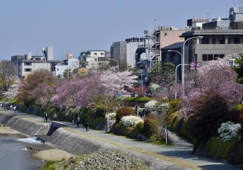 四条大橋<br />四条大橋から鴨川河川敷を見渡すと、咲き誇る「枝垂桜」や「ソメイヨシノ」などの桜並木が春爛漫を演出しています。淡い紅色の桜花のグラデーションが、上品な京情緒に彩りを添えています。<br />鴨川河川敷には、一味違った風物詩があります。この様子は、帰途のエピローグで紹介いたします。