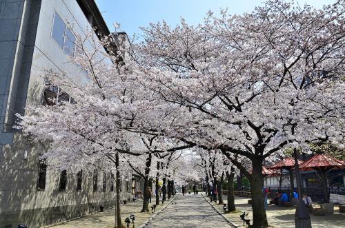 祇園白川<br />白川沿いに格子戸のあるお茶屋が連なり、白い石畳の道が伸びています。時には舞妓さんの姿を見ることもあり、京都情緒を愉しむには絶好のスポットです。<br />夜桜のライトアップも素晴らしく、桜の本数は40本程で決して多くはないのですが、清い白川の流れや町屋の佇まい、辰巳大明神、巽橋と変化に富み、京都の春を存分に愉しめるスポットです。<br />