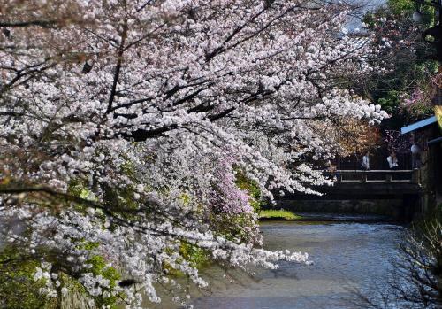 祇園白川<br />祇園を愛した歌人 吉井勇の「かにかくに 祇園はこひし 寝るときも 枕の下を 水のながるる」の歌碑が建てられています。<br />清涼な白川のせせらぎに沿って立ち並ぶ桜と柳の絶妙なコントラストが目に鮮やかな、200mほどの情緒豊かな石畳の道を散策します。<br />平安時代には桜と柳を混ぜて植えるのが主流だったそうです。<br />ここは夜桜もいいですが、誰もいない早朝の景観は絶品だそうです。
