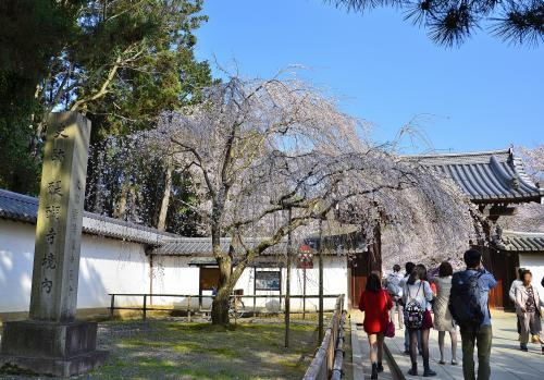 醍醐寺 総門<br />総門の前ではプロローグ的存在となる早咲きの枝垂桜が見頃を迎えています。<br />醍醐寺の枝垂桜は京都屈指の巨木揃いですので、初めて訪れる方はそのスケールに圧倒されること間違いなしです。