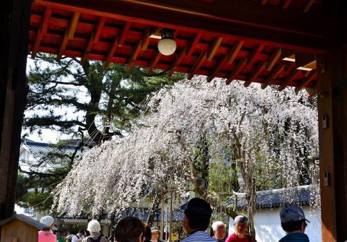 醍醐寺 総門<br />総門を潜って振り返ると、絵に描いたような枝垂桜が見送ってくれています。<br /><br />醍醐寺のHPでは、3月下旬から桜の開花情報を提供されています。枝垂桜は、京都の中では早咲きで有名です。三宝院の「太閤しだれ桜」や霊宝館の「醍醐深雪桜」、伽藍の代表的な桜の写真がディーリーで更新されますので要チェックです。<br />見頃を見極めて訪問されることをお勧めします。<br />醍醐寺のHPです。境内の案内図もあります。<br />https://www.daigoji.or.jp/