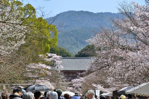 醍醐寺 桜の馬場<br />総門から西大門(仁王門)までの間を「桜の馬場」と言い、春には参道の両脇に植えられた桜並木が行きかう人に迫るように咲き誇ります。<br />桜並木の本数も別格ですが、人の頭の数の多さも半端ではありません。