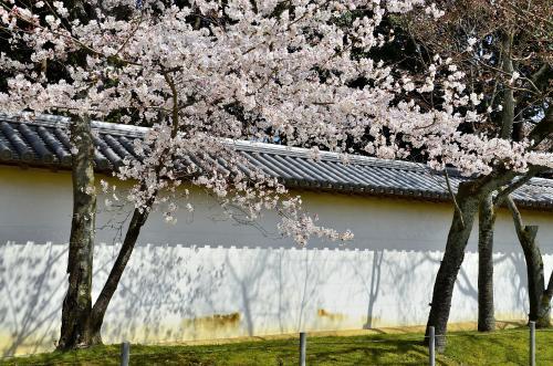 醍醐寺 <br />白い築地塀に映える薄紅色の桜花。<br />目線を落とせば、そこに広がるのは碧の苔の海。<br />これぞコントラストの妙!<br />因みに、築地塀には門跡を示す5本の横線「定規筋」が施されています。
