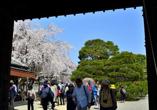 醍醐寺 三宝院 正門<br />正門の先には樹齢160年の「大紅しだれ桜」とその子孫に当たるクローン桜「太閤千代しだれ桜」が対峙し、互いの美しさを讃えあっているようで微笑ましく思えます。<br />そして正面には、大玄関前の立派な松の植込みが桜とのコントラストを強調し見事です。<br /><br />衰退しつつある醍醐寺の復興に我が身を捧げ、秀吉と共に「醍醐の花見」を実現させたのが三宝院門跡義演准后です。義演は、次々と伽藍を復興していきました。では何故、義演がこのような復興を遂げられたのでしょうか?<br />秀吉は関白職の座を手にしましたが、実はその地位は前任の関白 二条昭実から譲られたものでした。そして二条昭実こそ義演の兄だったのです。つまり二条家は関白の座を譲って秀吉に恩を売ったわけです。こうして秀吉からの潤沢な援助を受け、伽藍をあっという間に復興させました。またそれだけではなく、太閤検地の折りには、醍醐寺の困窮を訴えて替地を獲得したのでした。