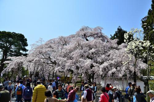 醍醐寺 三宝院 太閤しだれ桜<br />三宝院に入って直ぐの左手にある桜の群れ(3本)は「太閤しだれ桜」と呼ばれています。その中でも日本画家 奥村土牛が1972年に描いた代表作『醍醐』のモチーフとなった幹が2本に分かれた特徴的な「大紅しだれ桜」は、通称「土牛の桜」と称されて親しまれています。大きさもさることながら、形や枝ぶりも美しく、画家が筆を取りたくなるのも頷ける魅力的な桜です。<br />土牛の『醍醐』はどちらかと言うと、幹部を主体とした構図で力強く描かれた作品ですが、この太く力強い幹が透明感のある艶やかな桜の花びらをより強調しています。<br />『醍醐』は渋谷区にある山種美術館に所蔵されています。この絵は切手にもなりました。<br />切手についてはこのサイトをご覧ください。<br />http://kininaruart.com/artist/nihonga/stamp/togyu_st.html<br />山種美術館にある『醍醐』の絵はこちらを参照ください。<br />http://www.yamatane-museum.jp/collection/collection.html