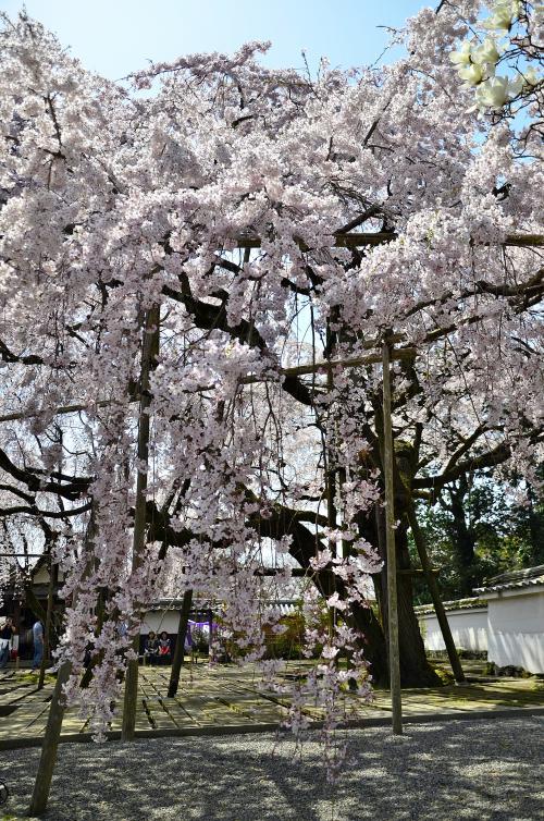 醍醐寺 三宝院 大紅しだれ桜<br />豊臣秀吉が醍醐の地へ移植させた桜の子孫とされる推定樹齢160年の「大紅しだれ桜」です。JR東海のCMに使われた桜で、通称「土牛の桜」と呼ばれ、まるで流れ落ちる滝のように枝垂れて淡いピンク色の花を付け、春爛漫の様相を浮かべています。<br />枝を支える添え木の数の多さが桜の巨大さを黙して語りかけてくれます。