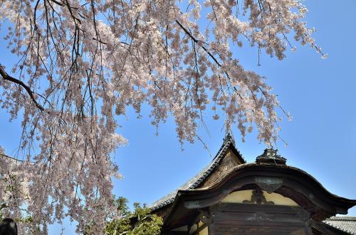 醍醐寺 三宝院 大紅しだれ桜と大玄関<br />醍醐の花見の表向きの目的は「北政所のストレス解消」でしたが、実際は慶長の役で朝鮮出兵の失策が豊臣家にもたらした暗澹たるムードを払拭したいと秀吉自ら望んだイベントでした。他に類を見ない盛大な花見だった一方、秀吉一行が夢見心地なひと時を楽しんでいた最中、朝鮮半島では激しい戦闘が続いていました。<br />死期を悟った秀吉が、最愛の嫡子 秀頼や北政所、淀などの妻妾を喜ばせたいという側面もあったことでしょう。秀吉最期のビックイベントとしてこの花見が後世に語り継がれ、庶民の間に花見が定着する契機となったそうです。なにはともあれ、こうして花見ができることの喜びを秀吉に感謝しなくてはなりませんね!<br />そして醍醐の花見から5ヶ月後に秀吉は没します。最期の栄華を見せつけた醍醐の花見は、一見貴族趣味の花見にも映りますが、桜を肴に酒宴に興じた点では庶民的な花見の原点と言えます。恐らく、秀吉でなければ花見を空前のイベントにするなどのアイデアは生まれなかったでしょう。現在の花見が騒々しいのは、「そこに秀吉のDNAが埋め込まれているから」と言ったら充分な言い訳になりそうです。