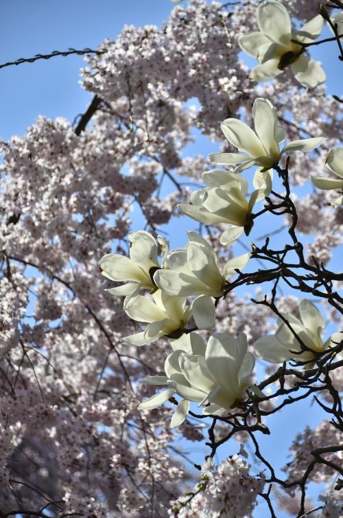 醍醐寺 三宝院 <br />大紅しだれ桜と青空を借景にした純白のモクレンです。<br /><br />秀吉時世の句「露と落ち 露と消えにしわが身かな なにわのことは夢のまた夢」。<br />「早朝、葉の上につく露は、太陽が昇れば瞬く間に蒸発し、どこに露があったのか跡形も残らない。天下を統一し、関白にもなった。大坂城を造り、栄華を極める聚楽第も築いた。今から思えば、朝露が消えるような、アッという間の一生だった。夢の中で夢を見ているような、儚いものであったことよ」と心境を詠んでいます。この秀吉の辞世の句は、はからずも自分の死の17年後に滅びゆく豊臣家の運命を見透かしているようにも思えます。