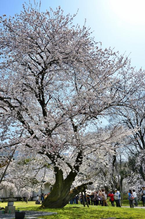 醍醐寺 霊宝館 ソメイヨシノ<br />霊宝館の庭には、京都最大と称されるソメイヨシノの巨木もあります。<br />通常、ソメイヨシノの寿命は60年と言われるのですが、こちらは樹齢100年を超える古木です。太い幹だけでも存在感充分です。<br />これも桜守の方々の日々の手入れの賜物と感謝の気持ちで一杯です。