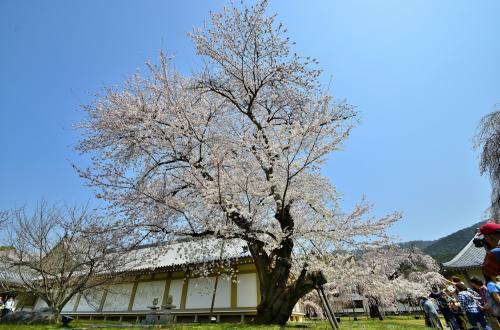醍醐寺 霊宝館 ソメイヨシノ<br />凛とした佇まいは「孤高のソメイヨシノ」と表現してもよいかもしれません。<br />太い幹と長く伸びた枝がその歴史の長さを物語り、力強さが漲っています。<br />太い枝が一部切られているのは少し痛々しくもありますが、咲き誇る花がそれを忘れさせます。