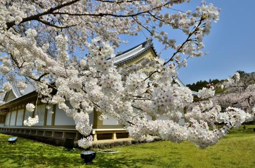 醍醐寺 霊宝館 ソメイヨシノ<br />花付きも旺盛で、とても平均寿命の2倍に手が届く老桜とは思えないエネルギーを秘めています。<br />「青春とは、心の若さである」と言う、サムエル・ウルマンの言葉が浮かんできます。