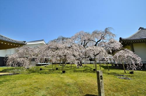 醍醐寺 霊宝館 醍醐深雪桜<br />醍醐寺にある巨木の枝垂桜は、「醍醐の花見」でこの地に移植された桜の子孫に当たり、その中でも霊宝館 平成館の庭に佇む「醍醐深雪桜」と呼ばれる桜は、樹齢180年を誇る風格漂う古木です。写真の桜全体が一本の桜です。<br />秀吉が行った「醍醐の花見」の際に眺めた枝垂桜の3代目に当たるそうです。佇まいも美しく、その枝ぶりが時には優雅に、時には力強さをも表現し、人気が衰えません。伸び伸びと枝から優雅にしな垂れる桜花の群れは、流れ落ちる小瀧やゆったりと羽を広げた鳳凰の姿を彷彿とさせ妖艶に迫ります。