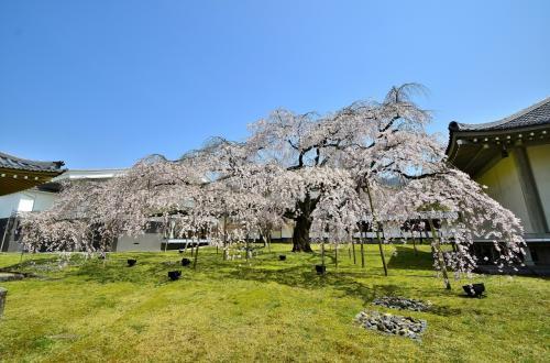醍醐寺 霊宝館 醍醐深雪桜<br />京都一と言っても過言ではない枝垂桜「醍醐深雪桜」は、文字通り深い雪が積ったような素晴らしい景観を呈し、中庭はこの桜の悠久の美を讃える歓声に包まれています。<br />幅25mに亘る見事な樹形は筆舌に尽くし難く、おおらかに伸びた華奢な枝が幾段にも分流した小瀧を彷彿とさせ、その枝垂れの枝の先々にはこぼれるように咲き誇る花々が時折吹く風と戯れています。まるで花飛沫のようで、散り初めの頃の風情が偲ばれます。