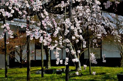 醍醐寺 霊宝館 醍醐深雪桜<br />樹齢180年と聞くと老桜と直感的に思ってしまいますが、枝垂桜の平均寿命は300年だそうですので、人に例えれば50歳頃に相応し、「天命を知る」年頃と言えます。<br />しかし、今期の冬は雪が例年になく多く、身に堪えたかもしれません。来年も豊かな桜花を咲かせ、訪れる人を幸せな気持ちにさせて欲しいと願うばかりです。