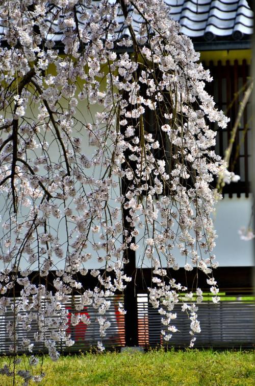 醍醐寺 霊宝館 醍醐深雪桜<br />まさに春爛漫の艶やかな桜そのものであり、醍醐寺に数多咲き誇る枝垂桜の中でも凛として他を寄せ付けない別格の気品を感じさせます。<br />午前中は逆光となりますが、午後に訪れると迫力のある姿を鑑賞できます。