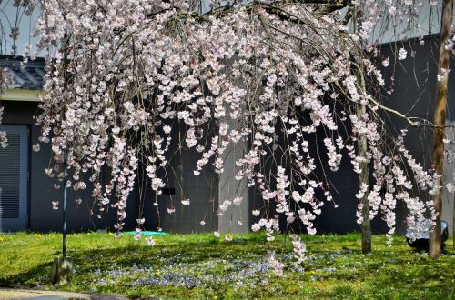 醍醐寺 霊宝館 醍醐深雪桜<br />この桜の孤木は、一種独特な妖艶な気配を漂わせ、坂口安吾 著『桜の森の満開の下』のエンディングの情景を思い起こさせます。<br />『桜の森の満開の下』は、鈴鹿峠に棲まう山賊と妖しく美しい残酷な女との幻想的かつ怪奇的な悲恋の物語です。満開の桜の木の下で花びらと化して掻き消えた女を偲ぶ男の「孤独と虚無」を、メタファー手法で見事に描写した坂口文学の最高峰と称されています。