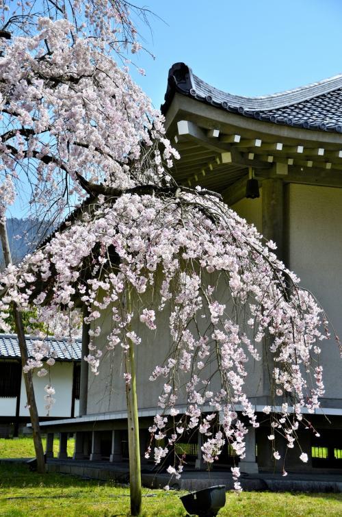 醍醐寺 霊宝館 醍醐深雪桜<br />どこを切り取っても絵になる桜です。<br />まさに四方八方死角なしです。