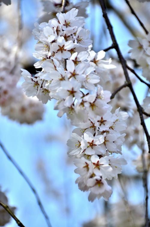 醍醐寺 霊宝館 醍醐深雪桜<br />こうして庭から間近に眺める深雪桜にも味わい深いものがありますが、この桜を平成館の奥にある休憩室からソファーに座って眺めると一味違った趣に満たされます。<br />混雑時にはソファーに座ろうと列をなすこともあるそうです。ただし、室内からは写真撮影が禁じられていますのでご注意ください。