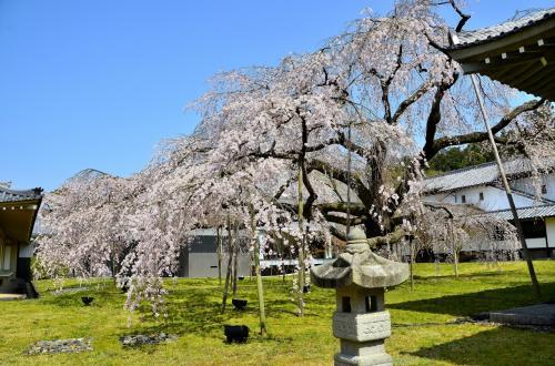 醍醐寺 霊宝館 醍醐深雪桜<br />碧の芝生の海に枝垂れて降りかかる風情も気品に満ちています。<br />見頃は例年3月下旬(26〜31日)です。ソメイヨシノの開花にバトンタッチするように散り初めます。京都では少し早めの開花タイミングになりますので醍醐寺のHPで開花情報を逐次チェックして訪問されることをお勧めします。<br />醍醐寺のHPはこちらです。「桜だより」をクリックしてください。<br />https://www.daigoji.or.jp/