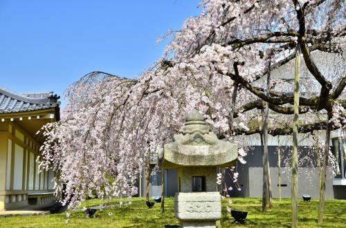 醍醐寺 霊宝館 醍醐深雪桜<br />今や霊宝館のランドマークとなった巨大な枝垂桜ですが、2001年までは藪や建物に隠れ、関係者以外にはその存在が知られていなかったそうです。<br />平成館のオープンを機に突如世間に姿を表した、「遅咲きの桜」とも言えます。<br />深雪桜に後ろ髪を引かれつつ、散策路を進みます。