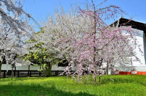 醍醐寺 霊宝館 散策路<br />霊宝館の裏手へ回って来ました。<br />こちらも春爛漫の様相です。<br />折り重なるように記念植樹・奉納された桜があちらこちらで咲き誇っています。<br />