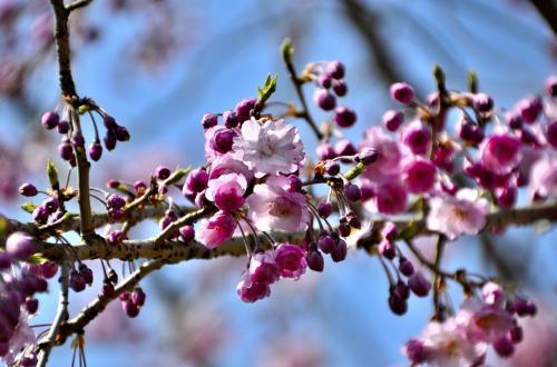 醍醐寺 霊宝館 散策路<br />醍醐寺で一番早く咲き始める河津桜から、枝垂桜〜ソメイヨシノ〜山桜〜八重桜〜大山桜まで3週間に亘って桜を愉しめるそうです。