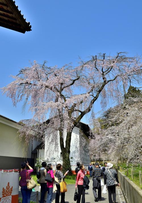 醍醐寺 霊宝館 散策路<br />天空から降り注ぐかのような背の高い枝垂桜は、古来より「糸桜」と讃えられる通り圧巻です。<br /><br />「醍醐の花見」の真相は、慶長の役で気落ちした秀吉が暗澹たるムードを払拭するための気晴らしとして企画したイベントでした。「醍醐の花見」を偲びながら、慶長の役の謎を紐解いてみましょう。<br />秀吉の朝鮮出兵に関しては、次のような一般解釈が散見されます。<br />①秀吉がボケたために起こした意味のない戦。<br />②秀吉の成長主義が引き起こした身勝手な野望。<br />③戦を好む戦国武士団を朝鮮、支那に追い払って殺す戦略。<br />どれも腑に落ちない解釈ばかりです。というのも、朝鮮出兵は日本国内のロジックだけでは推し量れないものであり、往時のアジアの国際情勢を見極めないと読み解けないのです。<br />朝鮮出兵は16世紀東アジア最大の戦であり、日本から16万人が送り込まれ、朝鮮と明国の連合軍は25万人で対峙しました。天下分け目の関ヶ原の戦いが東軍7万人、西軍8万人であり、朝鮮出兵のスケールは別格です。大挙して出兵せざるを得ない正当な大義名分があり、臣下がそれに納得したからこそ挙兵できたのは明白であり、次のシナリオが読み取れます。<br />往時はスペインが世界を制覇した時代。世界の8割が植民地と化し、東亜ではルソン(フィリピン)に東亜拠点の総督府を構える勢いでした。信長や秀吉の時代、スペインの征服を免れていたのは東亜では明と日本だけでした。そんな中、1549年にスペイン人が初来日、宣教師フランシスコザビエルです。往時の宣教師は、表向きはキリスト教の伝道師でも、裏では僧兵軍団でもありました。宣教師が改宗させて骨抜きにし、頃合いを見計らって軍隊を送り、人々を殺戮して財宝を強奪し、ひいては植民地にする戦術です。