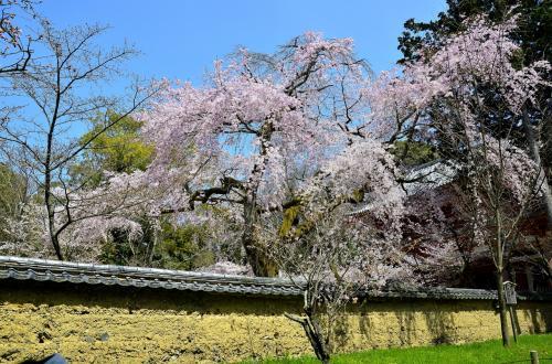 醍醐寺 霊宝館 散策路<br />伽藍入口の西大門を彩る巨木枝垂桜です。地肌むき出しの築地塀と桜のコントラストも抜群です。<br /><br />東亜征服を目論んだスペインの誤算は、持ち込んだ鉄砲を器用な日本人が瞬く間にコピーして量産してしまったことです。気付いた時には、日本の鉄砲所持数は世界の半数を占める莫大な数に至っていました。故に「福音を宣伝する方策をもって、日本人が陛下に悦んで臣事するように仕向けるしかない」と布教に注力する作戦に転じたのです。<br />勿論、スペインの狙いは東亜全域の植民地化。明は鉄砲をコピーする能力がない代わり、広大な国土を有し人口は半端ではなく、その調略には手間がかかります。秀吉は、得意とした調略を選択せず、明を攻略するに当たり共同戦線を打診したスペインを袖にします。戦国時代のゴールは、戦乱の世を終焉させて治安を回復することにあり、他国に干渉している暇はなかったのです。信長は比叡山や本願寺を攻めたことで魔王のごとく記されることが多いのですが、本来の狙いは戦乱の世の終焉に尽きました。秀吉も同じです。だからこそ平和を願う人々が彼らに従ったということが、最近発見された各種文書から詳らかにされてきています。秀吉の片腕だった軍師 竹中半兵衛も、天下を統一することで平和が訪れることを望んで信長や秀吉に使えたのです。