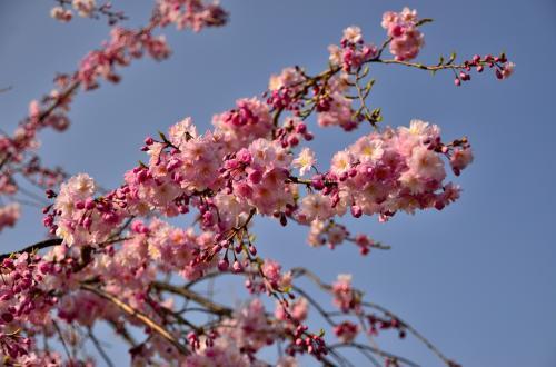 醍醐寺 霊宝館 散策路<br />八重桜も咲き始めています。<br />今年は一気に春めいたせいでしょうか?