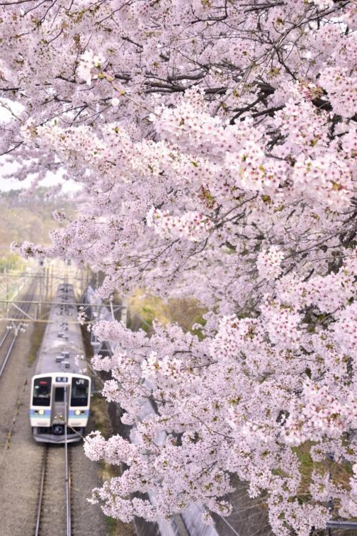 その桜並木の横を走る中央線の列車とのコラボも素敵な風景であります