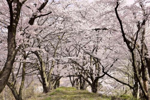 桜並木の中も見事な桜のトンネルが出来上がっていましたねw