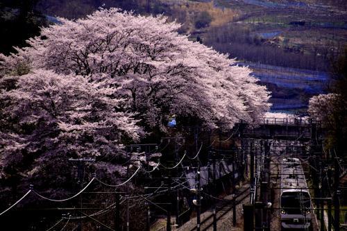 反対側に移動して、桜並木がある風景を一枚パチリ☆