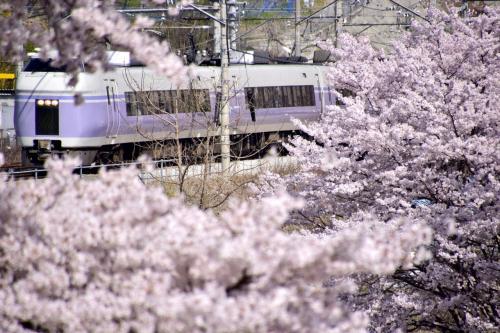 例年ですと、こちらの桜並木のほうが「甚六桜」よりも早く満開になってしまい「甚六桜」が満開になる頃には桜が散ってしまうのですが、今年はほぼ同じタイミングで桜満開な風景を見ることが出来ました
