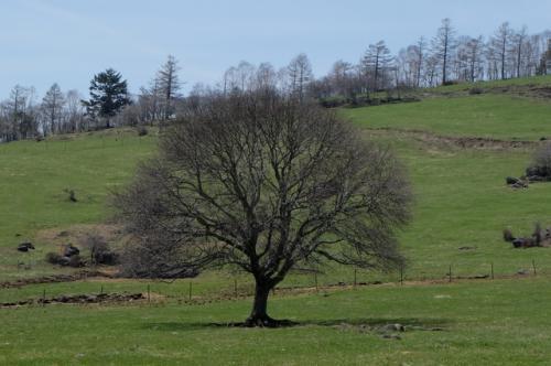 清里のシンボル「ヤマナシの木」<br /><br />毎年5月中・下旬、白い花を咲かせます。