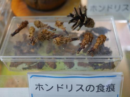 松の木の下のまつぼっくりに、こんなエビフライみたいな形の食べかすがあったら、リスがいる証拠なんだそうです。<br /><br />今度来たら、探してみよう。