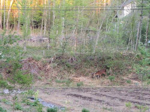 早朝だからか、鹿にも警戒心がない。