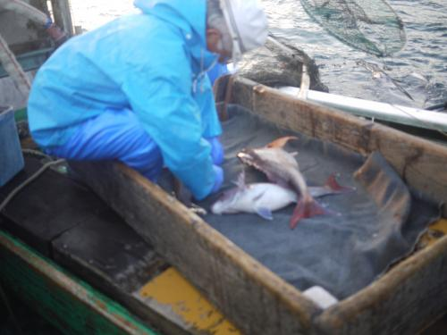 鯛は水中でたくさん空気を身体に吸い込んでいて、このままでは船の水槽では泳げないので、ガス抜きをします。<br />漁師さんのていねいなお仕事ぶりにも感激。