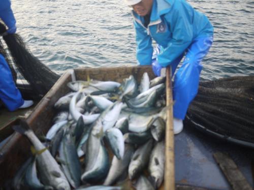 鯛とヒラメ以外のお魚はまとめて氷とともに別水槽へ。<br />この作業が何回も続きます。<br />ハマチやスズキ以外にも、イシダイやらカワハギやらアジ、イカやエイがあがっていました。<br />私より息子の方が、魚に詳しくてびっくり( ; ゜Д゜)