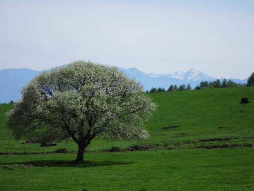 清里高原のシンボル、ヤマナシは7分咲き。<br /><br />背景に北岳が望めます。
