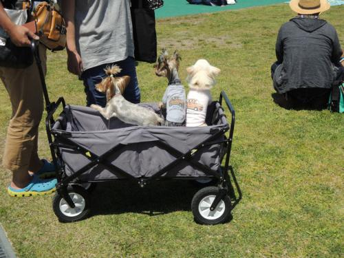 カングージャンボリーには、犬を連れた人たちも多く参加されている。犬が着ている(着せられている?)のは、カングーの服だろうか。