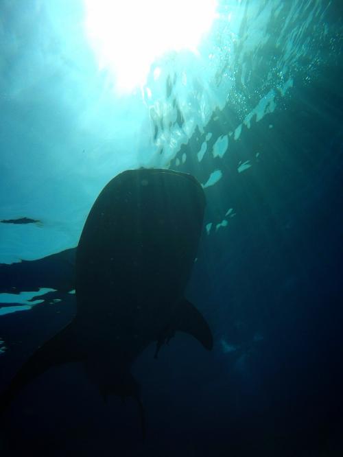 私はシュノーケルなので、こんな風に下からにジンベイを見る事はできませんが<br />ガイドさんが撮ってくれました。<br />