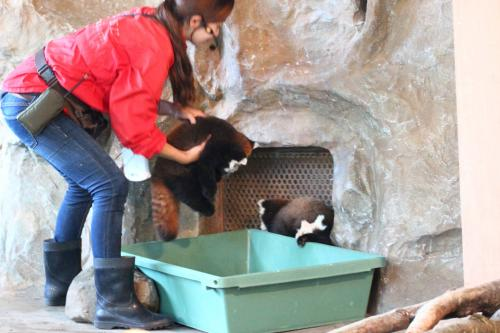 赤ちゃんは出入口のそばで箱に隠れがちだったので、飼育員さんが時々抱っこして中央に連れてきた@<br /><br />三つ子の赤ちゃん公開とレッサーハウス新設オープン、シルバーウィークの混雑もあって、飼育員さんは赤ちゃん公開中、ずっと展示場にいました。