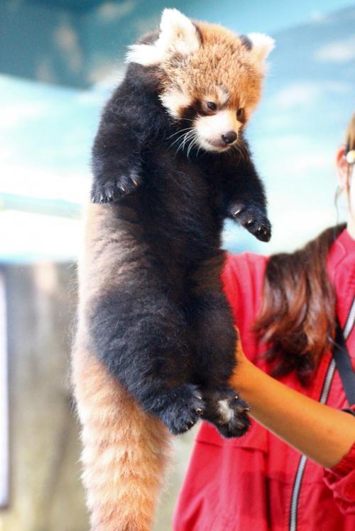 飼育員さんが見学者に見やすいように、首ねっこをつかんで披露<br /><br />これはたぶん陽那(ひな)ちゃん。