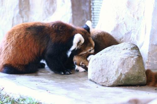 お母さんのダイズちゃんが首ねっこをくわえて移動させようとするけど、いやいやと抵抗する赤ちゃん