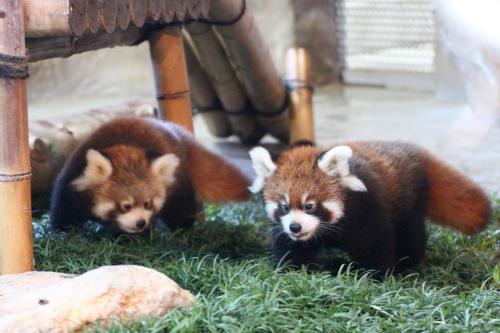 むかって右が朝日くん、左が陽那ちゃん<br /><br />見分け方は、同じく顔の黒い模様が同じくはっきりしていて、小さい方が朝日くん。<br /><br />市川市動物園のメイファちゃんの忘れ形見の三つ子ちゃんの場合も、男の子が一番小さかったです。<br />アドベンチャーワールドのライラちゃんの最初の双子ちゃんも、娘ちゃんの方が生育がよく、弟くんの方が授乳競争に負けて人工哺育になりました。<br />というわけで、 子供を生み育てる性ということもあるのかもしれませんが、レッサーパンダは成長面では女の子の方が強い子が多いのかもしれません。<br />とは、この3例だけで断言するのは早いですけど。